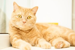 Close up portrait of funny ginger cat lying near window and looking at camera on light background of window with copy space. Cat food and goods  advertising layout concept. Space for text.