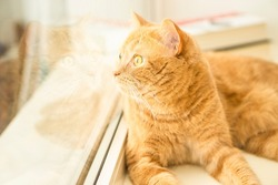 Close up portrait of funny ginger cat lying near window and looking away on light background of window with copy space. Cat food and goods  advertising layout concept. Space for text.