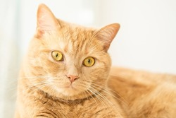 Close up portrait of funny ginger cat on light background of window with copy space. Cat food and goods  advertising layout concept. Space for text.