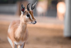 Close up portrait of gazelle face in facility of animal center. Conservation, education, preservation of endangered animals.