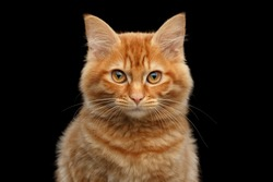 Close-up Portrait of Ginger Kurilian Bobtail Cat Curious Looking in Camera on Isolated Black Background, Front view