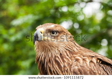 Close-up portrait of golden eagle Aquila chrysaetos. It is one of the best-known birds of prey