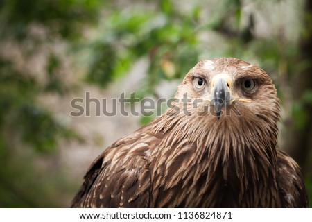 Close-up portrait of golden eagle Aquila chrysaetos, one of the best-known birds of prey