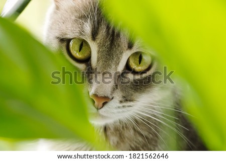 Close-up portrait of gray domestic cat through green leaves of domestic plants. Cat and plants. Image for veterinary clinics, sites about cats