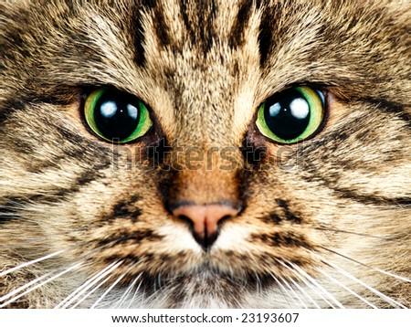 Close-up portrait of green-eyed Siberian cat