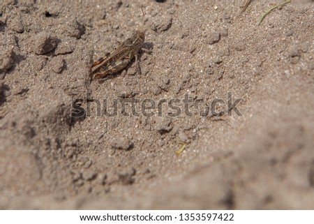 Close-up portrait of grey Woodland Grasshopper on ground. This grasshopper is present in most of Europe, in eastern Palearctic ecozone, in North Africa and in the Near East. #1353597422