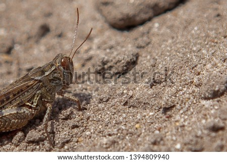 Close-up portrait of grey Woodland Grasshopper on ground. This grasshopper is present in most of Europe, in eastern Palearctic ecozone, in North Africa and in the Near East. #1394809940