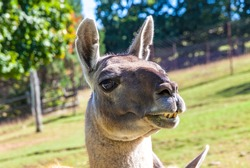 Close-up portrait of Guanaco (Lama guanicoe), camelid native to South America, closely related to the llama. Its name comes from the Quechua word huanaco