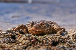 Close up portrait of he amphibian animal common toad, European toad, or in english speaking parts of Europe, simply the toad, Bufo bufo, resting in the shallow clear water during sunny spring day.