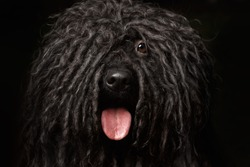 Close up Portrait of head Puli Dog isolated on Black