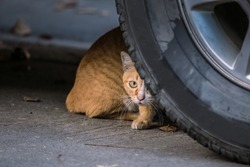 Close up portrait of homeless cat. Stray homeless cat wanders peeping behind wheel of car. Abandoned cat with yellow gold color on road.