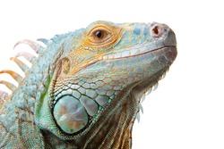 Close-up portrait of iguana on isolated white