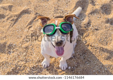 Close up portrait of jack russell terrier dog with swimming glasses having fun on the beach. Concept of fun pastime with dog in the summertime. Selective focus #1146176684