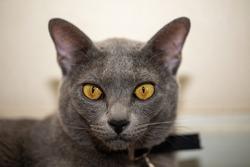 Close-up portrait of Korat cat with yellow eyes