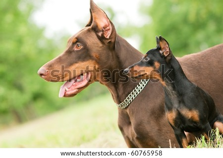 Close-up portrait of large and miniature purebred brown Doberman pinscher outdoors