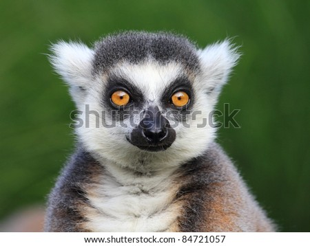 Close-up portrait of lemur catta (ring tailed lemur) - stock photo