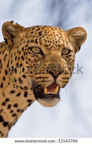 Close-up portrait of Leopard ; Panthera pardus; South Africa - stock photo