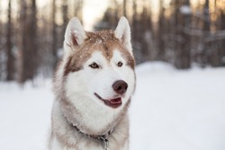 Close-up portrait of lovely dog breed siberian Husky sitting on the snow in winter forest at golden sunset. Profile image of beige and white Husky topdog looks like a wolf