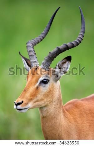 Close-up portrait of male Impala; Aepyceros melampus
