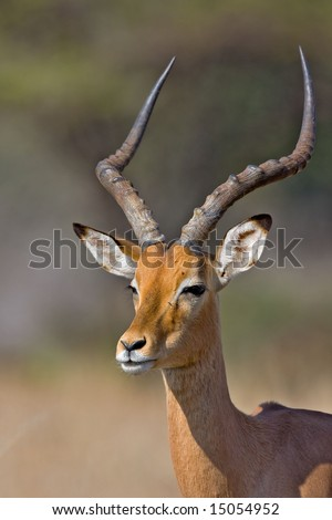Close-up portrait of male Impala; aepyceros melampus; South Africa