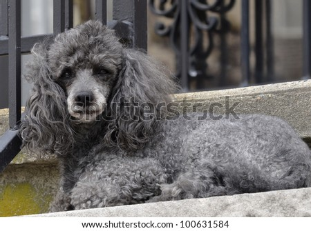 Close-up portrait of obedient small gray poodle