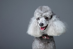 Close-up portrait of obedient smiling small gray poodle with  red leather collar on grey background