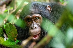 Close up portrait of old chimpanzee Pan troglodytes resting in the jungle of Kibale forest in Uganda
