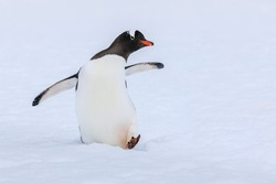 Close up portrait of one gentoo penguin (Pygoscelis papua) walking in the snow of Antarctica with foot raised, wings outstretched, looking at the camera with beak in profile on a white background