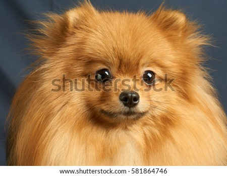 Close-up portrait of one red Pomeranian dog #581864746