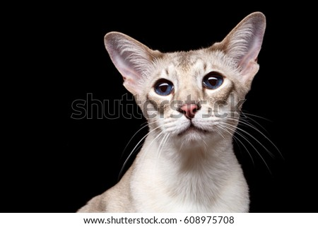 Close-up Portrait of Peterbald Sphynx Cat Curiosity Looks on Isolated Black background