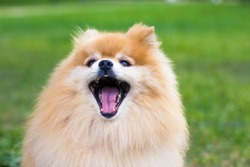 Close up portrait of Pomeranian spitz dog with tongue, open wide mouth outdoor on green grass. Happy smiling fluffy little orange puppy is barking. Funny cute animal walking, playing. Love pet concept