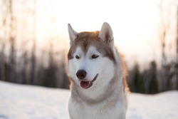 Close-up portrait of prideful and young dog breed siberian Husky sitting on the snow in winter forest at golden sunset. Profile Image of beautiful beige and white Husky topdog looks like a wolf