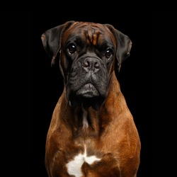 Close-up Portrait of Purebred Boxer Dog with tan fur Isolated on Black Background