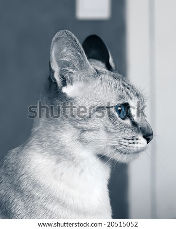 stock photo : Close-up portrait of purebred tabby-point siamese cat with