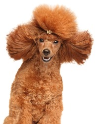 Close-up portrait of red dwarf Poodle on white background
