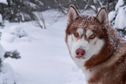Close up portrait of red husky dog in snow on winer background, copy space.