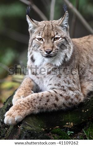 Close-up portrait of resting Eurasian Lynx (Lynx lynx)