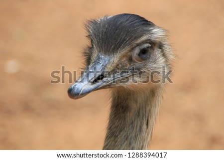Close up portrait of rhea bird (lesser or Darwin's rhea) isolated on desert background colors, soft bouquet. Grey feathers, long beak, big eyes, friendly cute look and thin long neck. South America