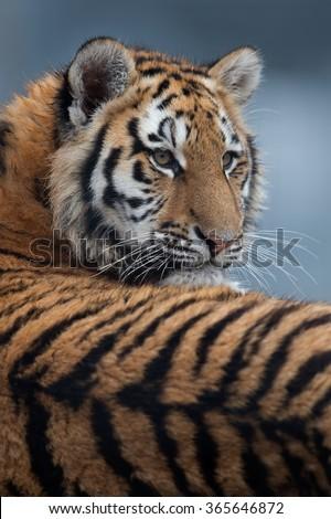 Close up portrait of Siberian Tiger Cub/Amur Tiger Cub/Siberian Tiger Cub(Panthera Tigris Altaica) #365646872