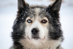 close-up portrait of sled dog with different eyes brown and blue