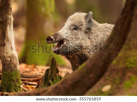 Stock Photo Close up portrait of smiling big  Sus scrofa Wild boar in autumn beech forest staring directly at camera. Colorful orange leaves on the ground, framed by blurred trees. European lowland forest.