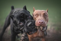 Close-up portrait of the active black cane corso and red pit bull terrier playing with a toy rope against the backdrop of a bright summer landscape