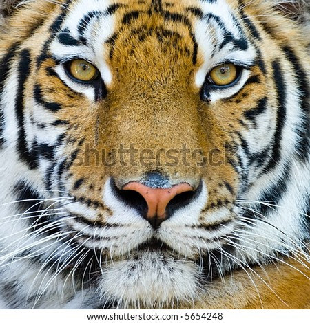 close-up portrait of the big tiger