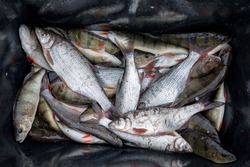Close up portrait of the bowl with the daily fresh catch from Baltic Sea on the west coast of Estonia consist of European Whitefish (upper ind) and Perch (below)