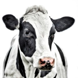 Close up portrait of the head of a Friesian Cow