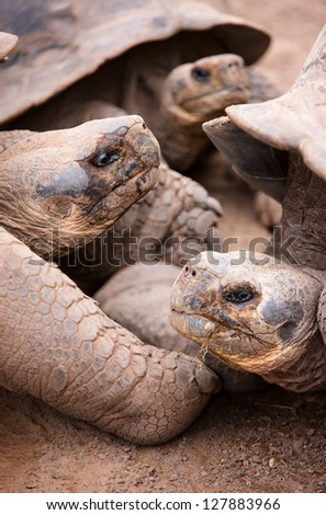 Close up portrait of the largest living species of tortoise