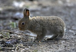 Close up portrait of the wild Mountain Hare cub on the forest road