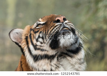 Close-up portrait of tiger looking up.  Malayan tiger (Panthera tigris) on blurred green background. Beautiful big cat with black stripes. #1252143781