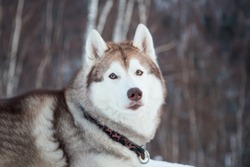 Close-up portrait of topdog Husky male liying in winter forest. Portrait of beautiful Beige and White Siberian husky dog is on the snow on Sakhalin Island in Russia.