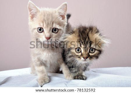 close-up portrait of two Britain breed kittens